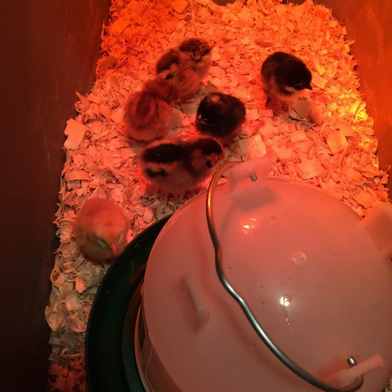 Answers to all of the questions I've been asked about raising chickens.